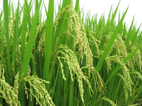 Gạo nàng thơm đặc biệt